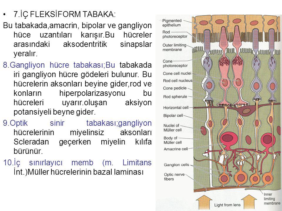 7.İÇ FLEKSİFORM TABAKA: Bu tabakada,amacrin, bipolar ve gangliyon hüce uzantıları karışır.Bu hücreler arasındaki aksodentritik sinapslar yeralır. 8.Ga