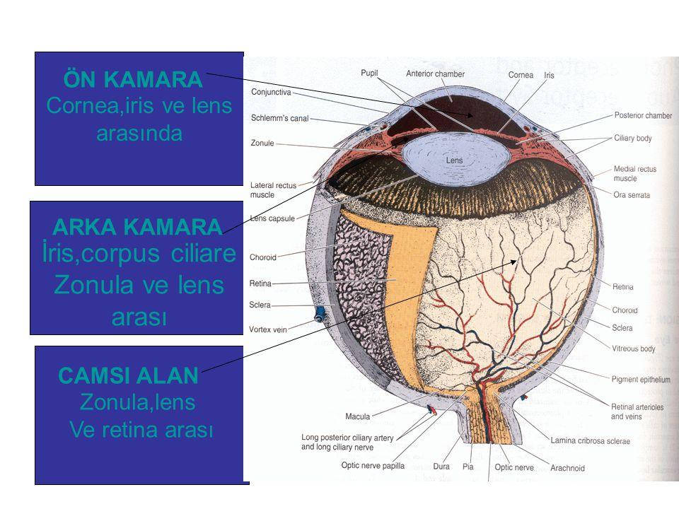 Cornea,iris ve lens arasında İris,corpus ciliare Zonula ve lens arası Zonula,lens Ve retina arası ARKA KAMARA CAMSI ALAN ÖN KAMARA