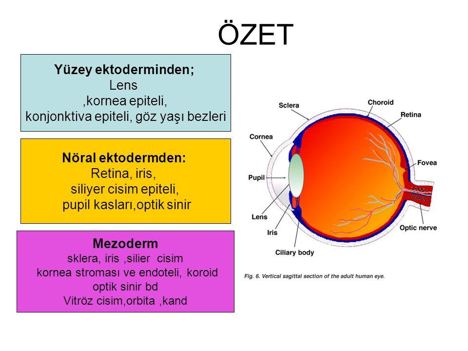 ÖZET Yüzey ektoderminden; Lens,kornea epiteli, konjonktiva epiteli, göz yaşı bezleri Nöral ektodermden: Retina, iris, siliyer cisim epiteli, pupil kas