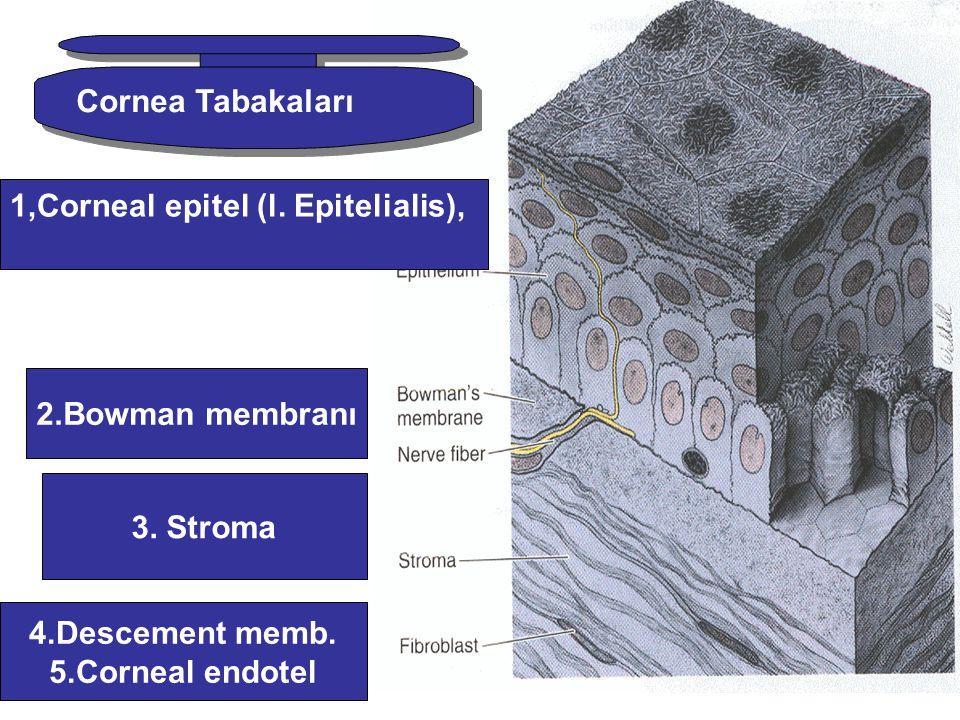 1,Corneal epitel (l. Epitelialis), 2.Bowman membranı 3. Stroma 4.Descement memb. 5.Corneal endotel Cornea Tabakaları