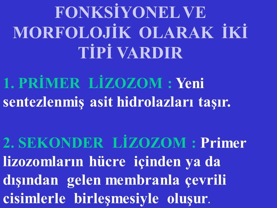 FONKSİYONEL VE MORFOLOJİK OLARAK İKİ TİPİ VARDIR 1.