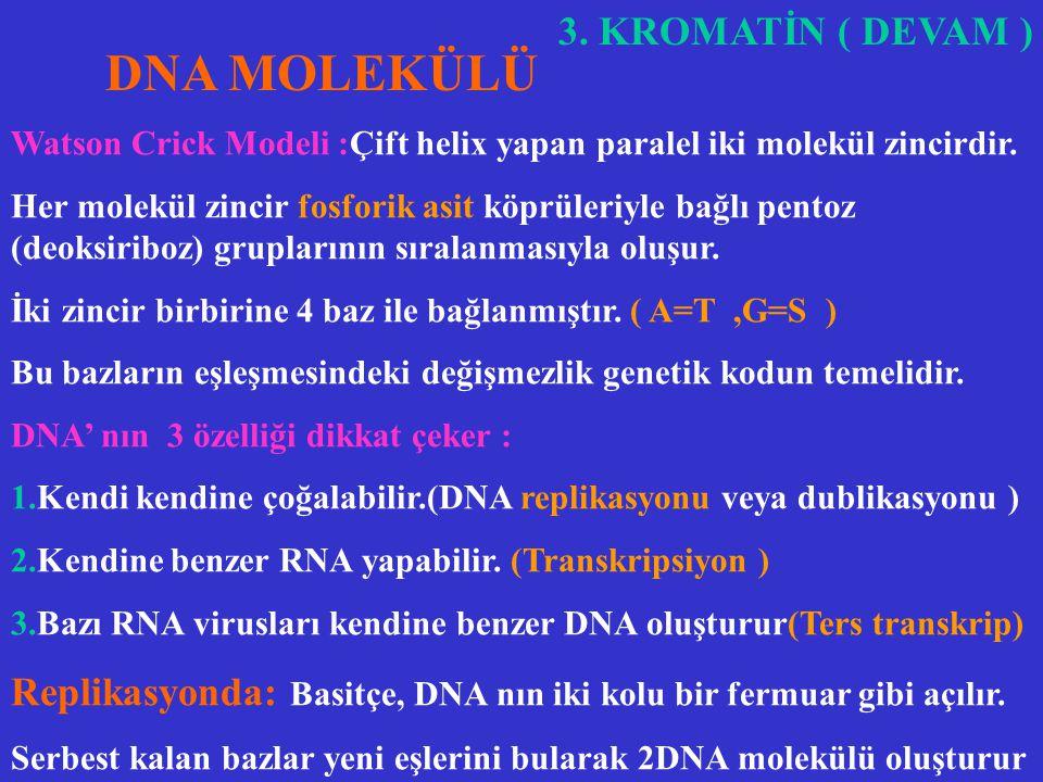 3. KROMATİN (Devam) 2. EUKROMATİN:Az nukleoprotein kıvrımları nedeniyle soluktur. DNA yüzeyi daha çoktur. Protein senteziyle doğrudan ilgilidir. Soluk