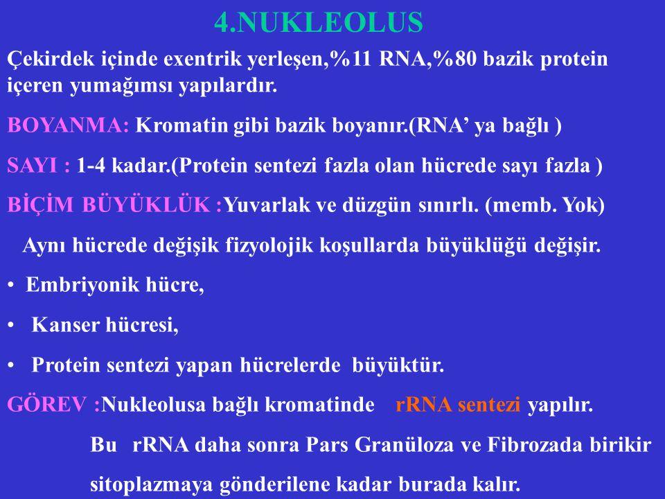 3.KROMOZOM (Devam ) Kromatin DNA'sı hücre içindeki baş lıca DNA şeklini oluşturur. Genetik bilginin çoğunu taşır. Kromatin içinde :Haberci,ribozomal,t