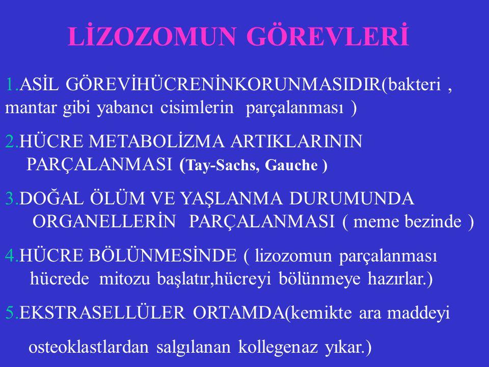 FONKSİYONEL VE MORFOLOJİK OLARAK İKİ TİPİ VARDIR 1. PRİMER LİZOZOM : Yeni sentezlenmiş asit hidrolazları taşır. 2. SEKONDER LİZOZOM : Primer lizozomla