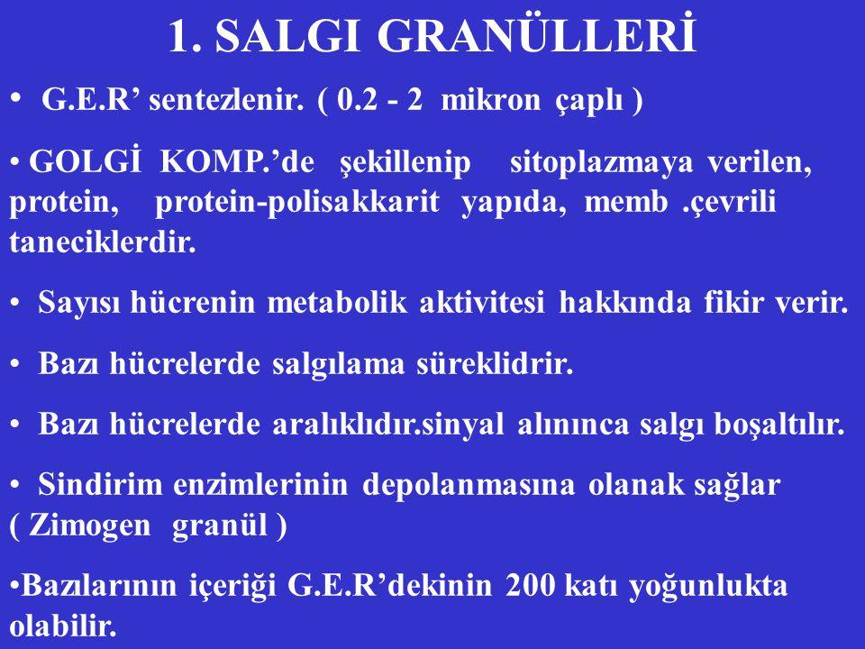 1.SALGI GRANÜLLERİ G.E.R' sentezlenir.