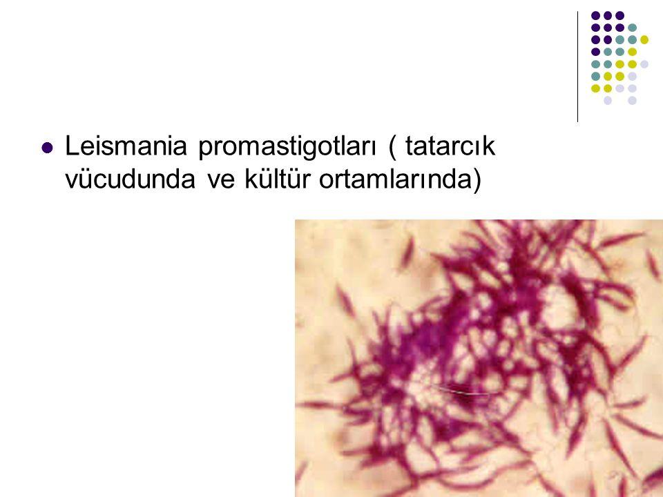 Leismania promastigotları ( tatarcık vücudunda ve kültür ortamlarında)