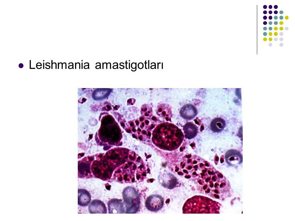 Leishmania amastigotları