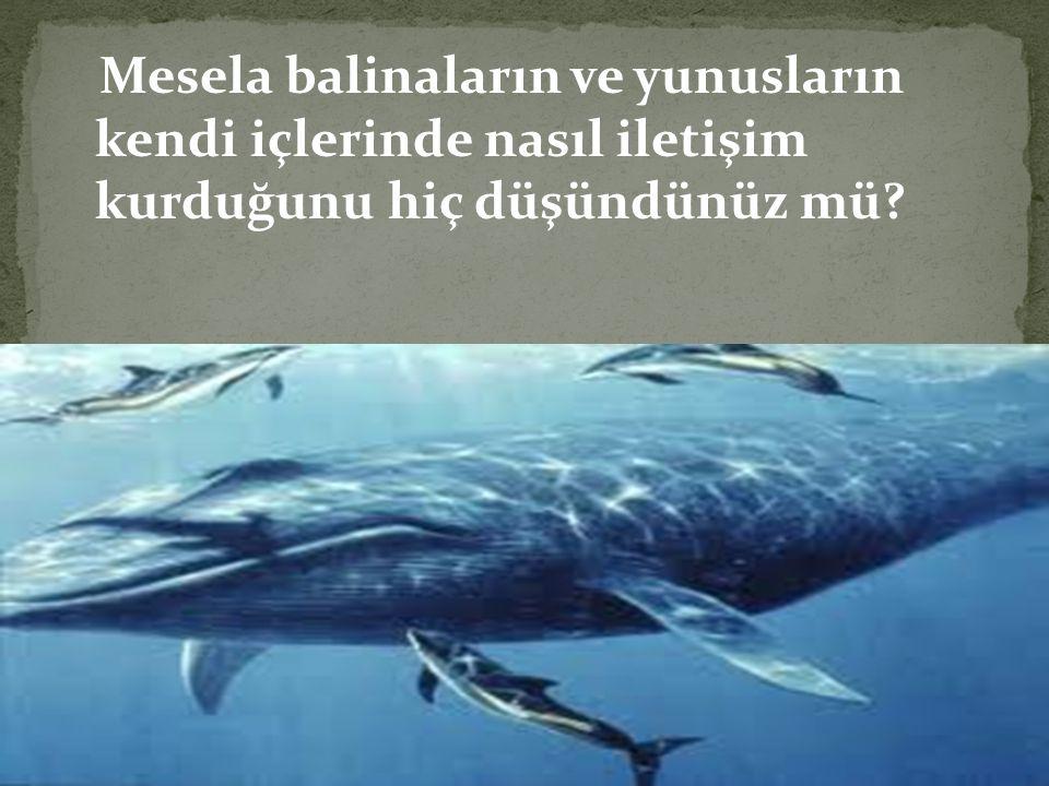 Mesela balinaların ve yunusların kendi içlerinde nasıl iletişim kurduğunu hiç düşündünüz mü?