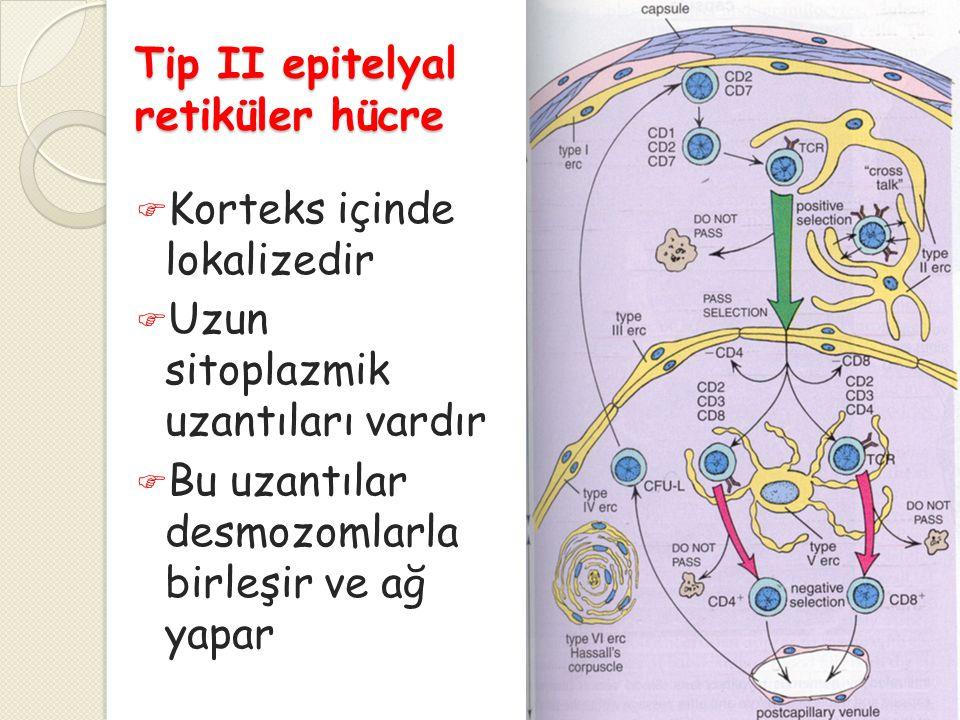 Tip II epitelyal retiküler hücre  Korteks içinde lokalizedir  Uzun sitoplazmik uzantıları vardır  Bu uzantılar desmozomlarla birleşir ve ağ yapar