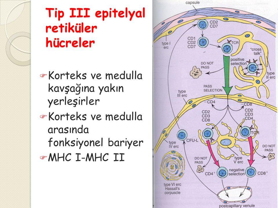 Tip III epitelyal retiküler hücreler  Korteks ve medulla kavşağına yakın yerleşirler  Korteks ve medulla arasında fonksiyonel bariyer  MHC I-MHC II