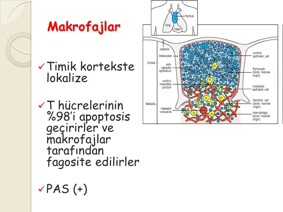 Makrofajlar Timik kortekste lokalize T hücrelerinin %98'i apoptosis geçirirler ve makrofajlar tarafından fagosite edilirler PAS (+)