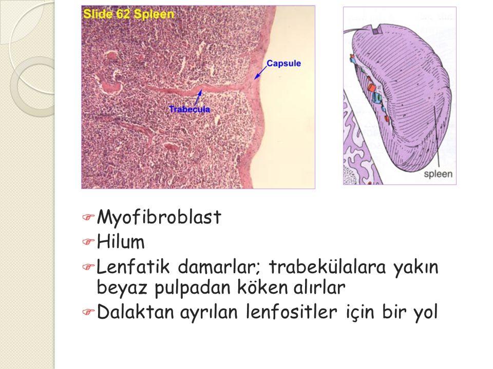  Myofibroblast  Hilum  Lenfatik damarlar; trabekülalara yakın beyaz pulpadan köken alırlar  Dalaktan ayrılan lenfositler için bir yol