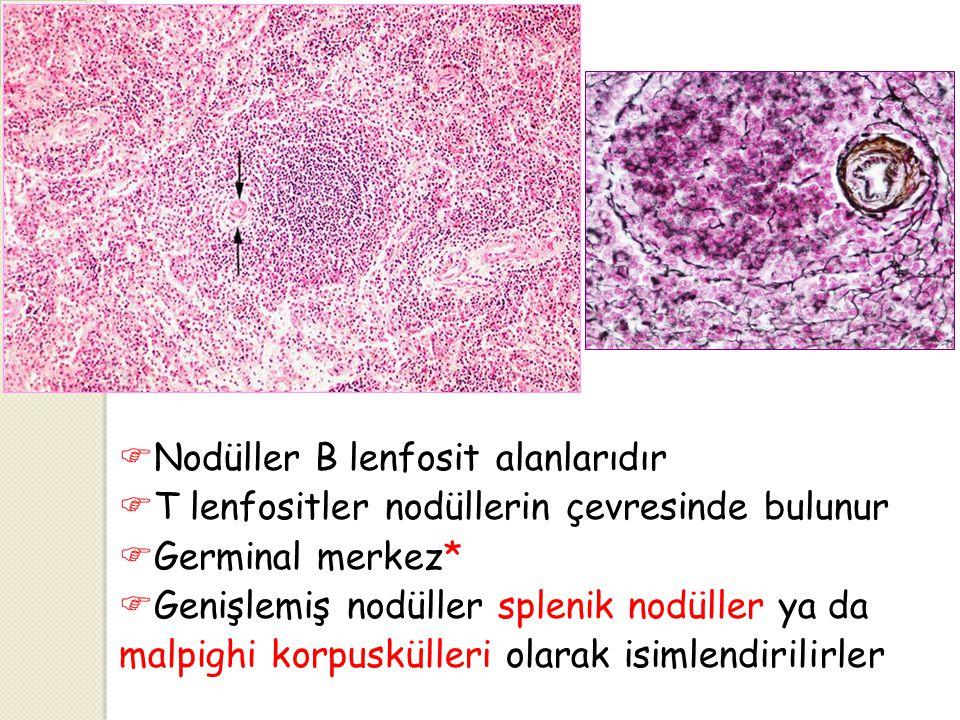  Nodüller B lenfosit alanlarıdır  T lenfositler nodüllerin çevresinde bulunur  Germinal merkez*  Genişlemiş nodüller splenik nodüller ya da malpig