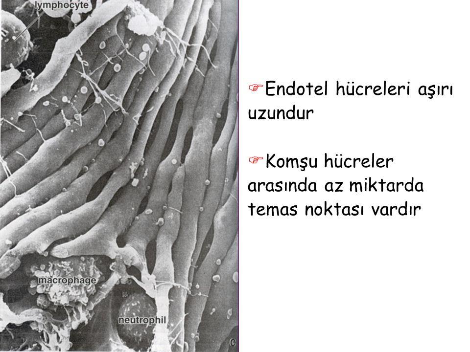  Endotel hücreleri aşırı uzundur  Komşu hücreler arasında az miktarda temas noktası vardır