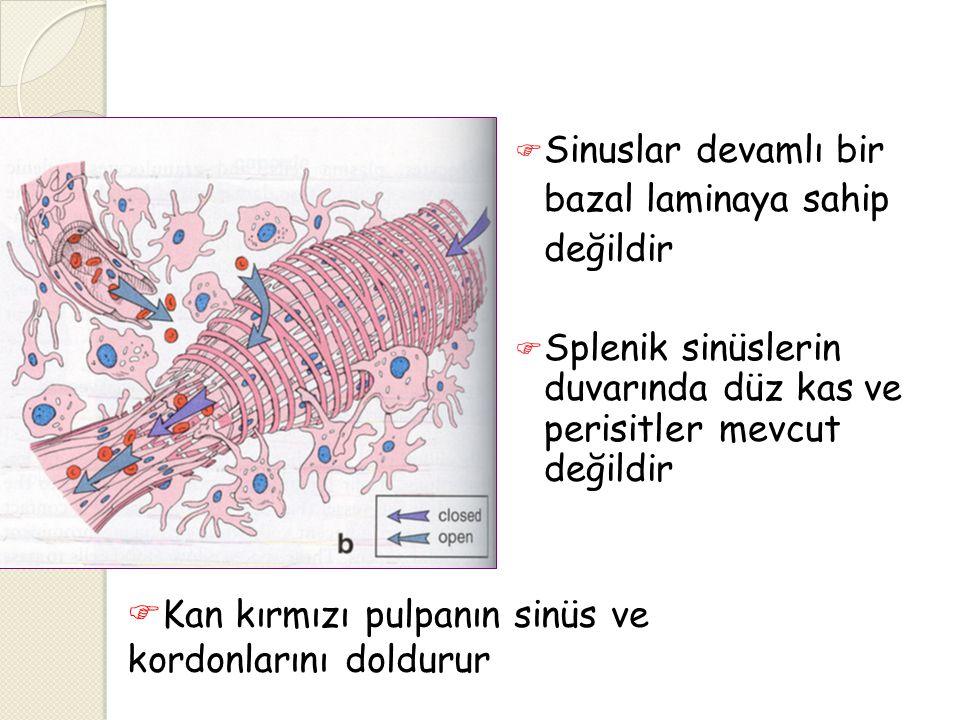  Sinuslar devamlı bir bazal laminaya sahip değildir  Splenik sinüslerin duvarında düz kas ve perisitler mevcut değildir  Kan kırmızı pulpanın sinüs