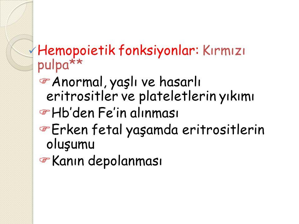 Hemopoietik fonksiyonlar: Kırmızı pulpa**  Anormal, yaşlı ve hasarlı eritrositler ve plateletlerin yıkımı  Hb'den Fe'in alınması  Erken fetal yaşam
