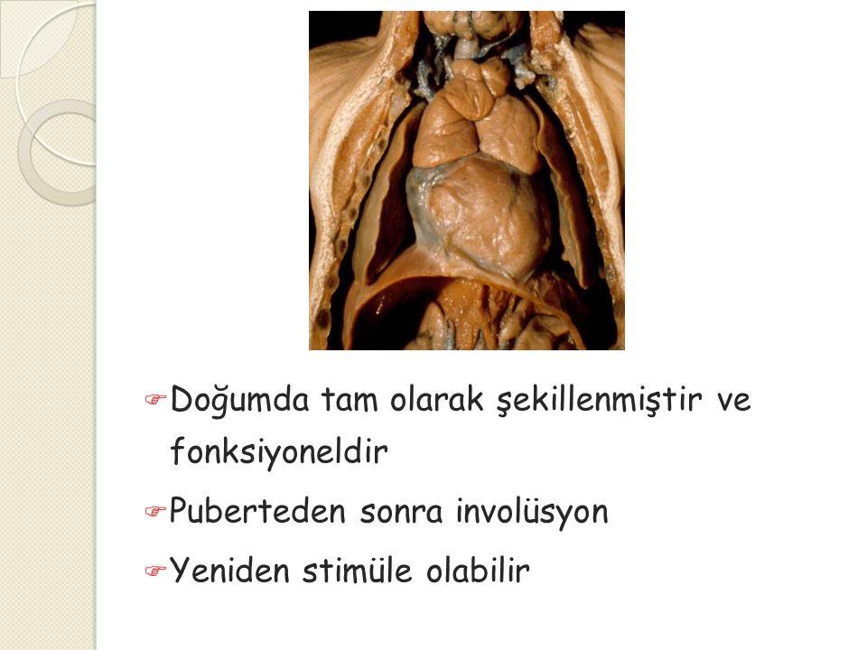  Doğumda tam olarak şekillenmiştir ve fonksiyoneldir  Puberteden sonra involüsyon  Yeniden stimüle olabilir