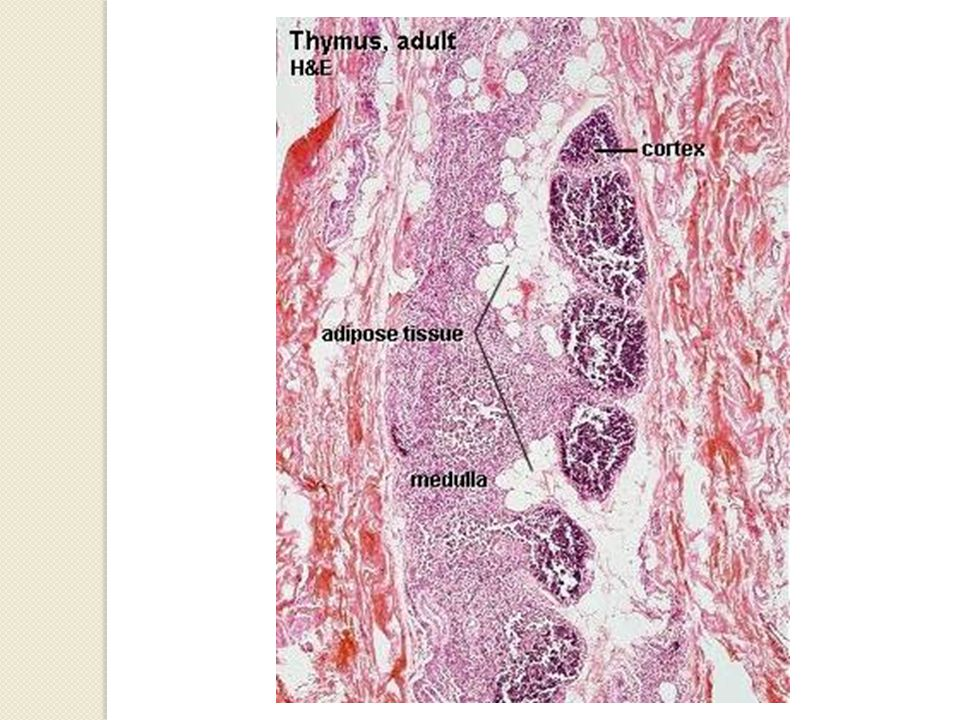 Tip IV epitelyal retiküler hücreler  Tip III ile yakın komşuluktadır  Korteks ile medulla arasında