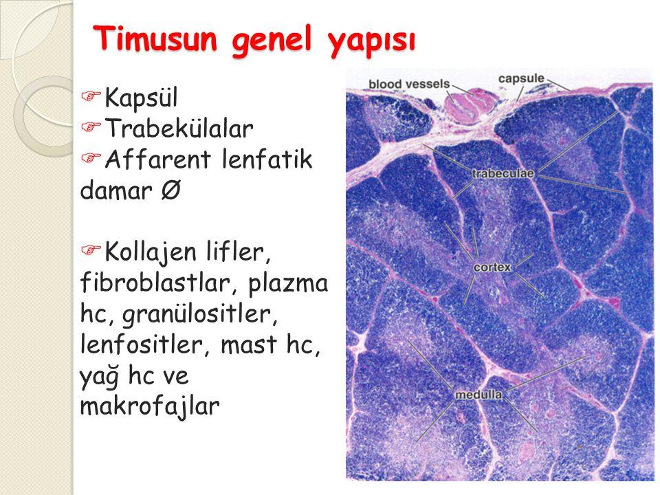  Timik parankim epitelyoretiküler hücreler arasında gelişmekte olan T hücrelerini içerir  Timositler  Korteks  Medulla