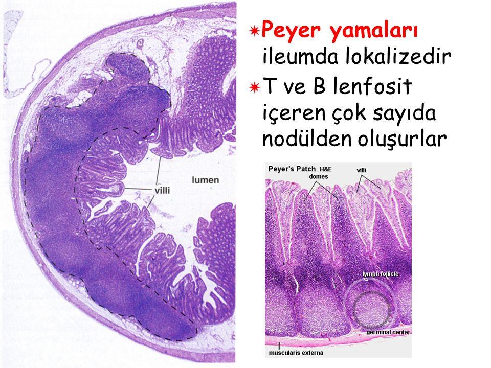  Peyer yamaları ileumda lokalizedir  T ve B lenfosit içeren çok sayıda nodülden oluşurlar