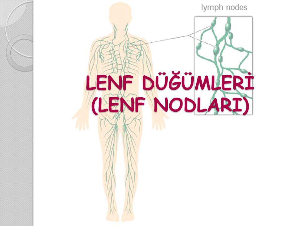 LENF DÜĞÜMLERİ (LENF NODLARI)
