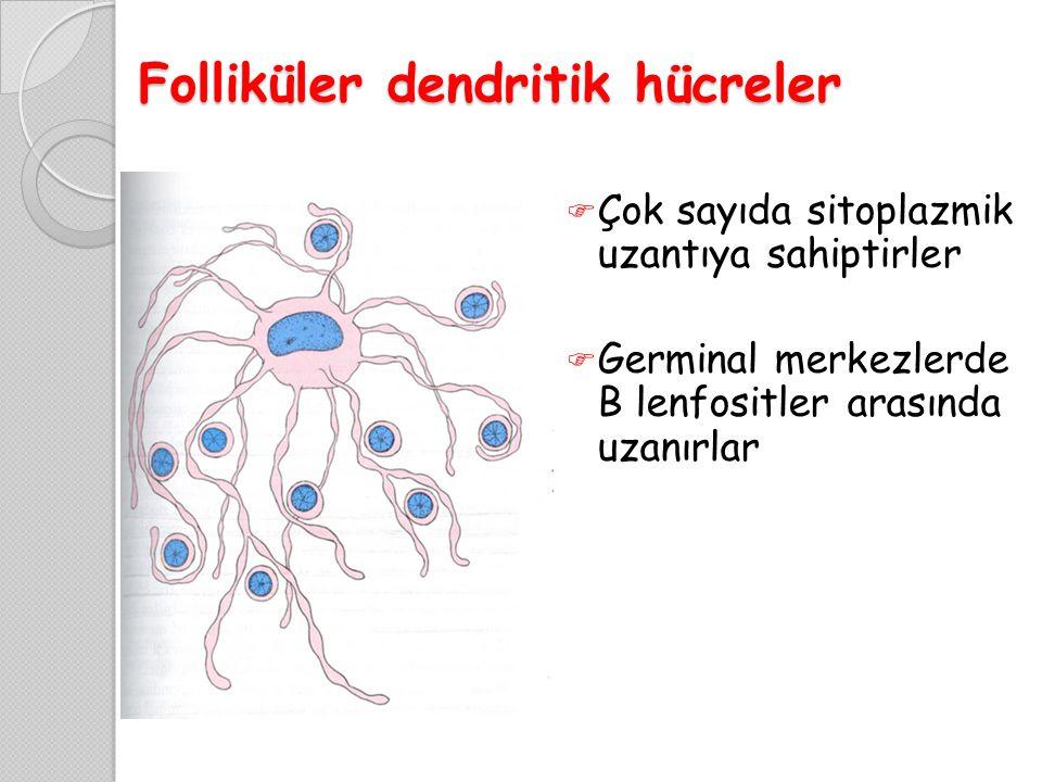 Folliküler dendritik hücreler  Çok sayıda sitoplazmik uzantıya sahiptirler  Germinal merkezlerde B lenfositler arasında uzanırlar