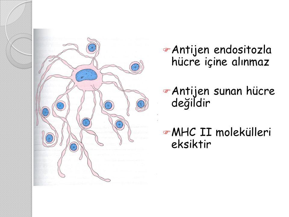  Antijen endositozla hücre içine alınmaz  Antijen sunan hücre değildir  MHC II molekülleri eksiktir