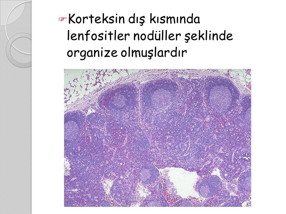  Korteksin dış kısmında lenfositler nodüller şeklinde organize olmuşlardır