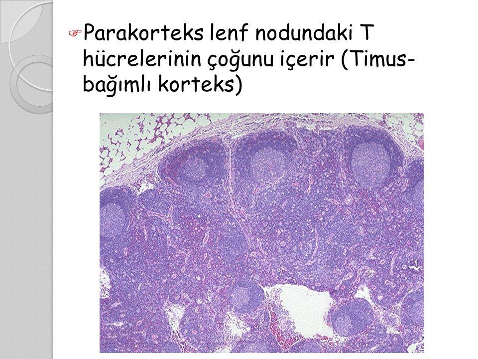  Parakorteks lenf nodundaki T hücrelerinin çoğunu içerir (Timus- bağımlı korteks)