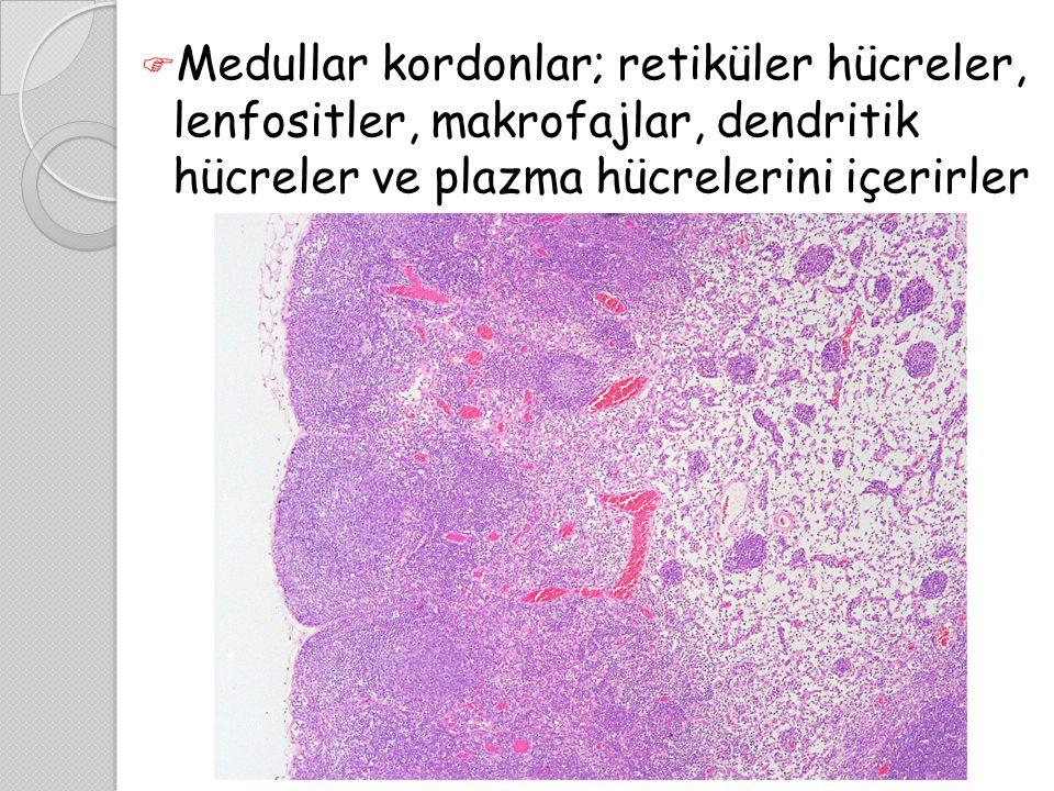  Medullar kordonlar; retiküler hücreler, lenfositler, makrofajlar, dendritik hücreler ve plazma hücrelerini içerirler