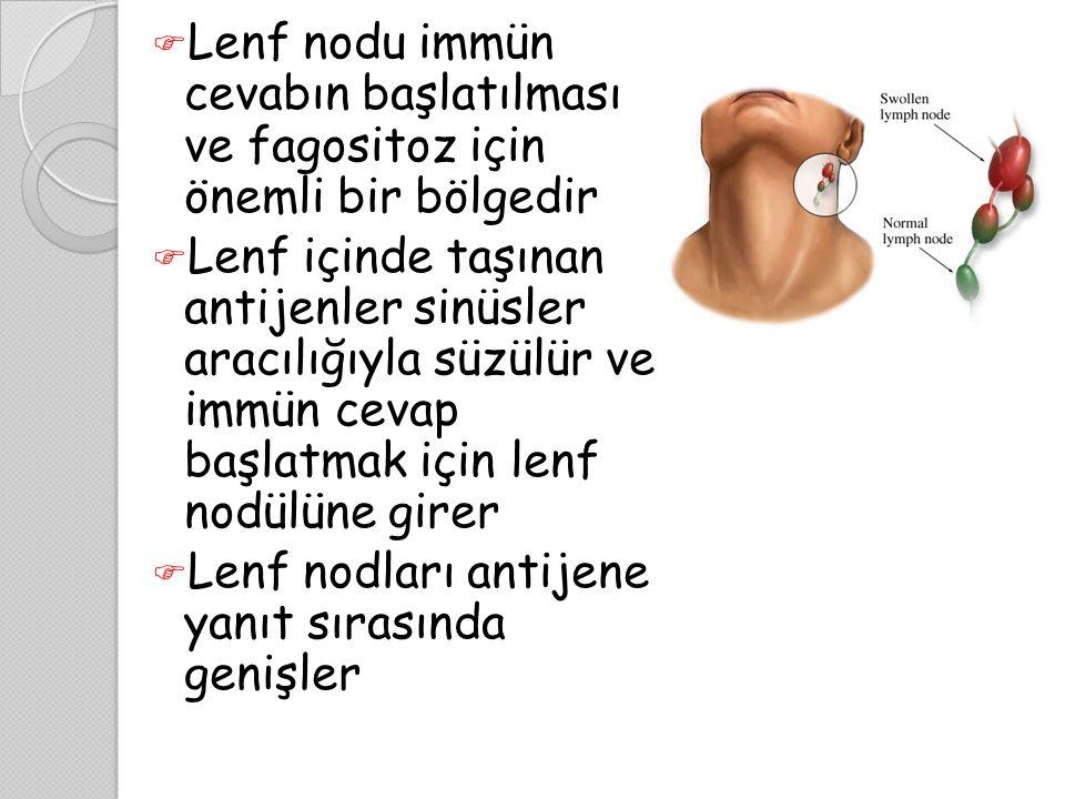  Lenf nodu immün cevabın başlatılması ve fagositoz için önemli bir bölgedir  Lenf içinde taşınan antijenler sinüsler aracılığıyla süzülür ve immün c