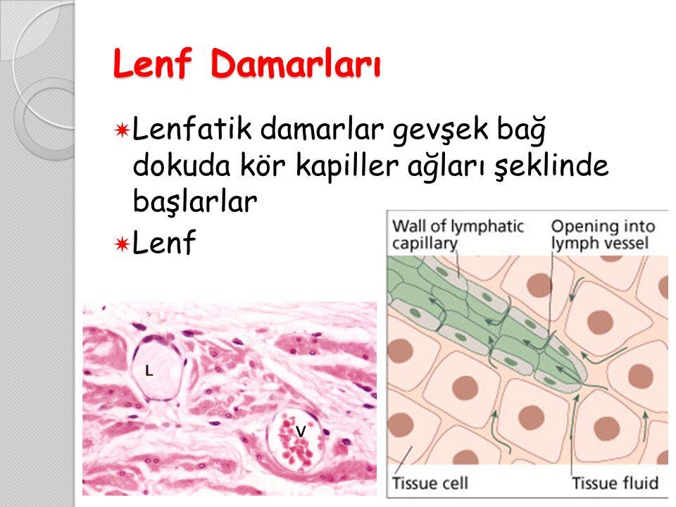 Lenf Damarları  Lenfatik damarlar gevşek bağ dokuda kör kapiller ağları şeklinde başlarlar  Lenf