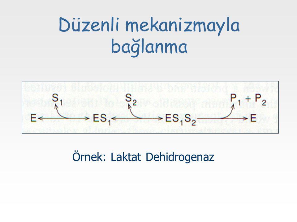 Düzenli mekanizmayla bağlanma Örnek: Laktat Dehidrogenaz