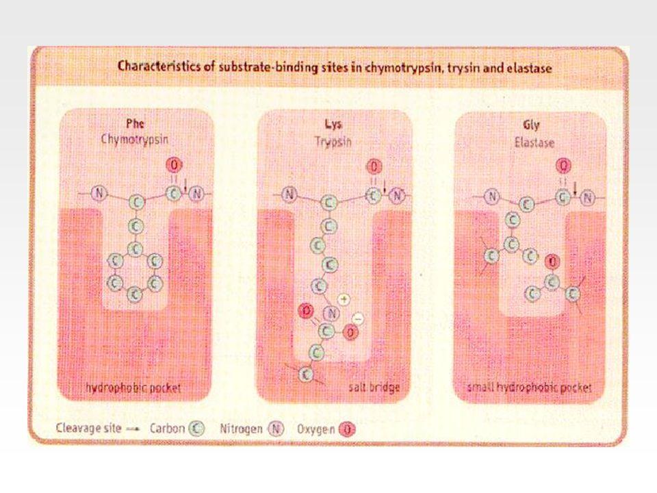 Enzimler nasıl çalışırlar? A + B C + D Enzimler aktivasyon enerjisini düşürürler.