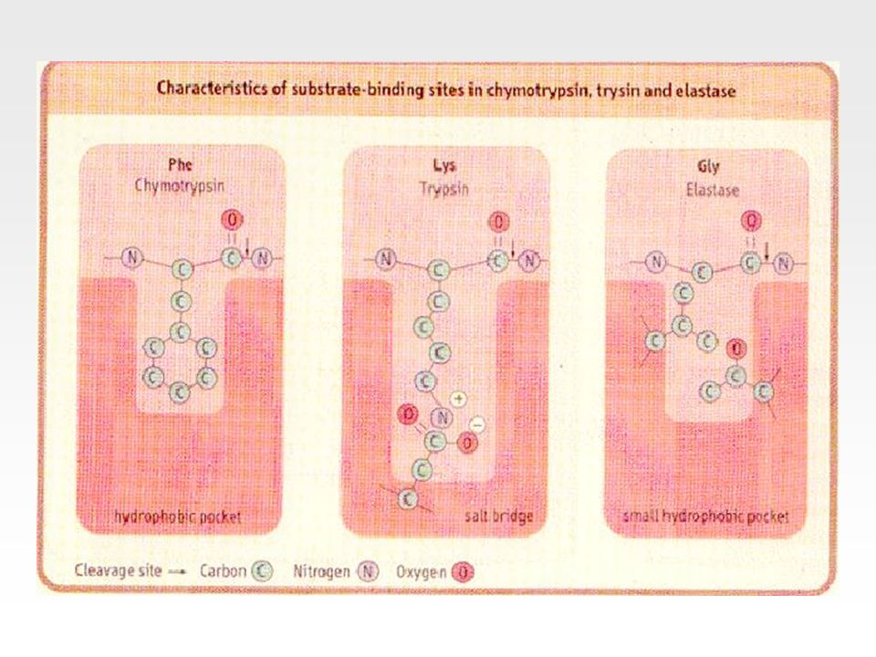 Asetoasetat dekarboksilaz enzimi