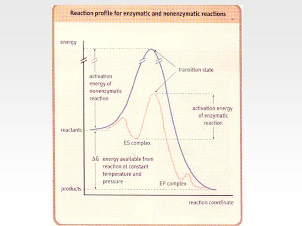 Elektrostatik kataliz  Enzimlerin aktif bölgesinde yüklü grupların bulunması elektrostatik etkileşimlerin oluşmasını sağlar  Substratın bağlanması genellikle enzimin aktif bölgesinden suyu uzaklaştırır  Daha polar bir yapıya kavuşan aktif bölge, sulu ortamdakinden daha güçlü elektrostatik etkileşimler geliştirir