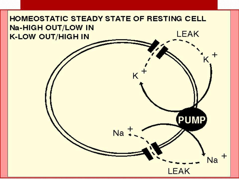 Potasyum İntrasellüler sıvıdaki temel katyon Sinir ve kas fonksiyonu Na/K ATPaz Aldosteron tarafından regüle edilir.