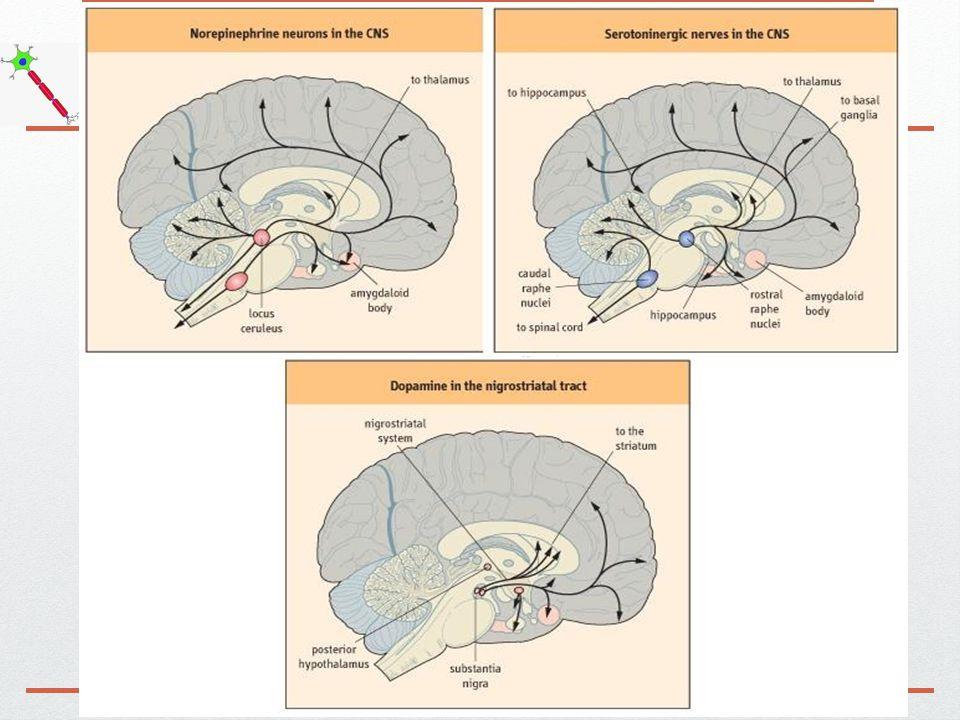 Asetilkolin  Parasempatik sinir sistemi (PSS) ve sempatik ganglia transmitteridir.