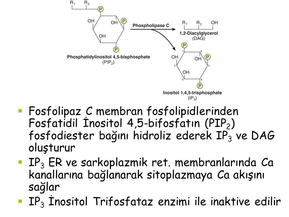  Fosfolipaz C membran fosfolipidlerinden Fosfatidil İnositol 4,5-bifosfatın (PIP 2 ) fosfodiester bağını hidroliz ederek IP 3 ve DAG oluşturur  IP 3