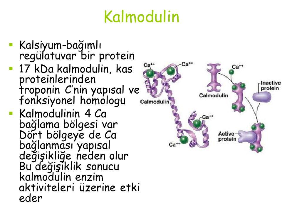 Kalmodulin  Kalsiyum-bağımlı regülatuvar bir protein  17 kDa kalmodulin, kas proteinlerinden troponin C'nin yapısal ve fonksiyonel homologu  Kalmod