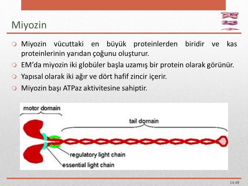Miyozin  Miyozin vücuttaki en büyük proteinlerden biridir ve kas proteinlerinin yarıdan çoğunu oluşturur.  EM'da miyozin iki globüler başla uzamış b