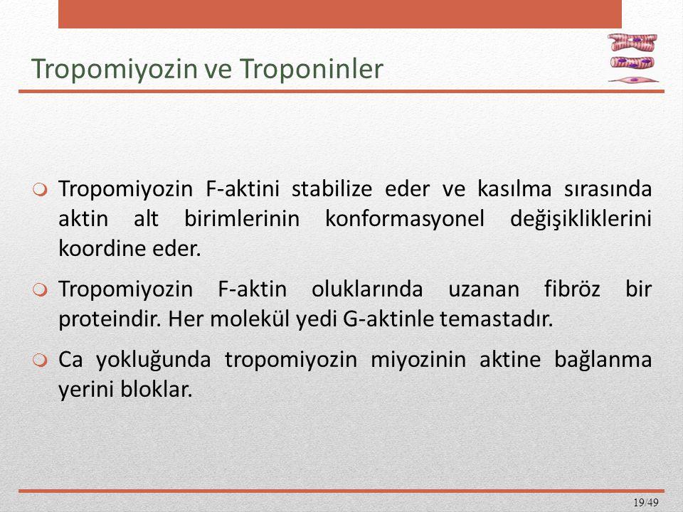 Tropomiyozin ve Troponinler  Tropomiyozin F-aktini stabilize eder ve kasılma sırasında aktin alt birimlerinin konformasyonel değişikliklerini koordin