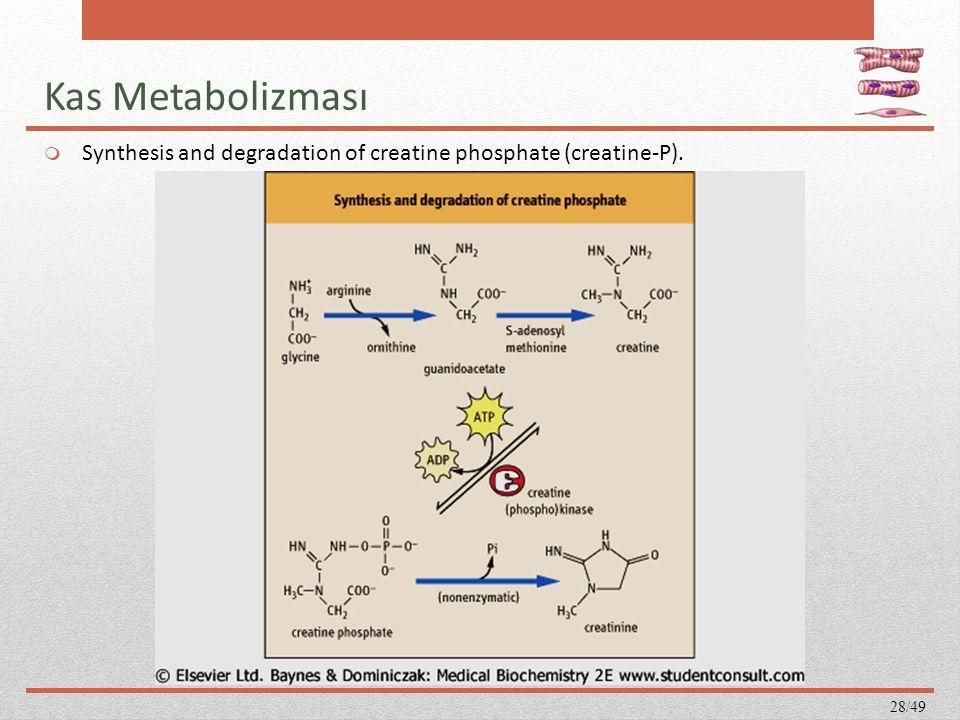 Kas Metabolizması  Synthesis and degradation of creatine phosphate (creatine-P). 28/49