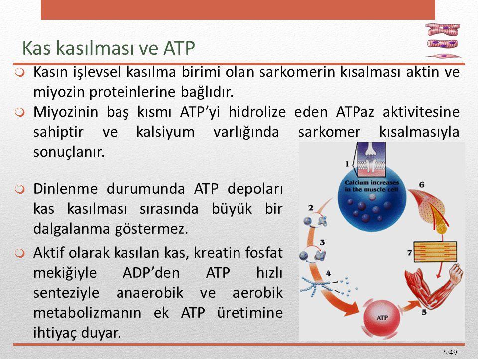  Dinlenme durumunda ATP depoları kas kasılması sırasında büyük bir dalgalanma göstermez.  Aktif olarak kasılan kas, kreatin fosfat mekiğiyle ADP'den