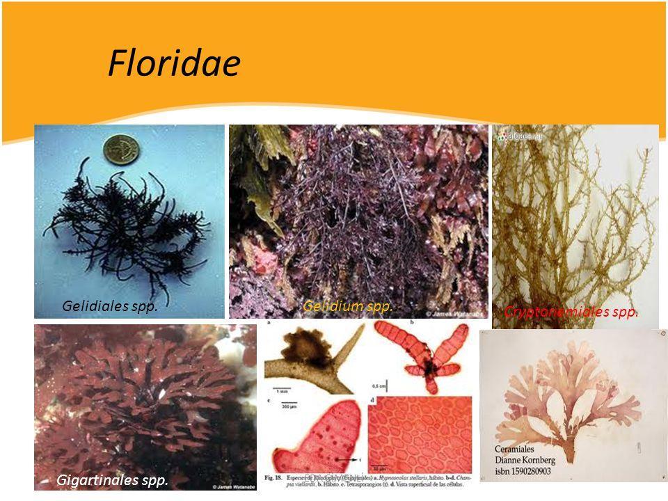 Floridae Gelidiales spp. Gelidium spp.. Gigartinales spp. Cryptonemiales spp. EDA ÇİMENLİ