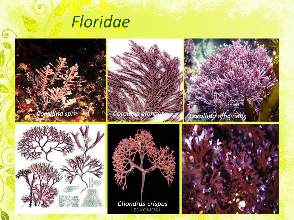 Floridae Corallina sp.Corallina elongata Corallina officinalis Chondrus crispus EDA ÇİMENLİ