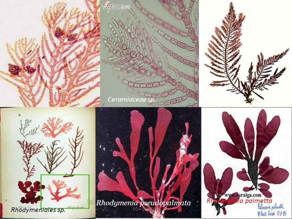 Ceramiaceae sp. Rhodymeniales sp. Rhodymenia pseudopalmata Rhodymenia palmetta EDA ÇİMENLİ