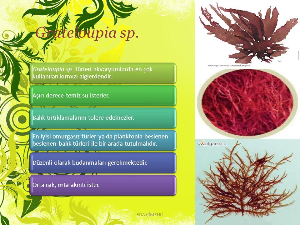 Grateloupia sp. Grateloupia sp. türleri akvaryumlarda en çok kullanılan kırmızı alglerdendir. Aşırı derece temiz su isterler.Balık tırtıklamalarını to