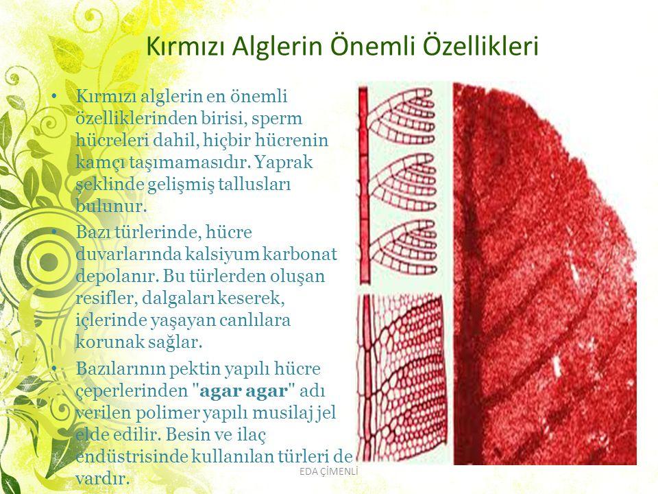 Kırmızı Alglerin Önemli Özellikleri Kırmızı alglerin en önemli özelliklerinden birisi, sperm hücreleri dahil, hiçbir hücrenin kamçı taşımamasıdır. Yap