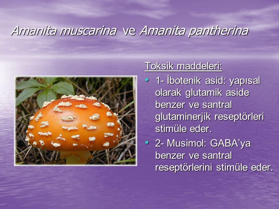 Amanita muscarina ve Amanita pantherina Toksik maddeleri: 1- İbotenik asid: yapısal olarak glutamik aside benzer ve santral glutaminerjik reseptörleri stimüle eder.